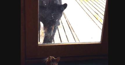 當一隻黑熊步步逼近家門時,這隻貓咪立刻做出「奴才,退下」的霸氣舉動!