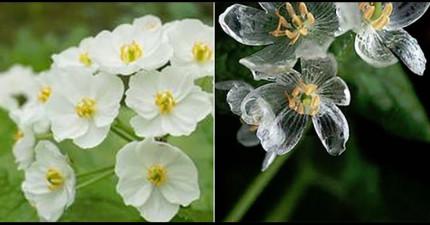 日本行人都被這些「一轉眼就變透明的花」給搞糊塗了!