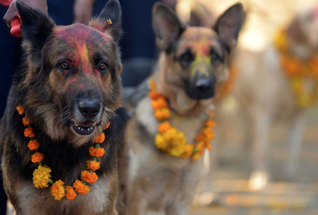 當中國狗肉節年年上演時,尼泊爾的狗狗卻受到完全不同的崇敬待遇。