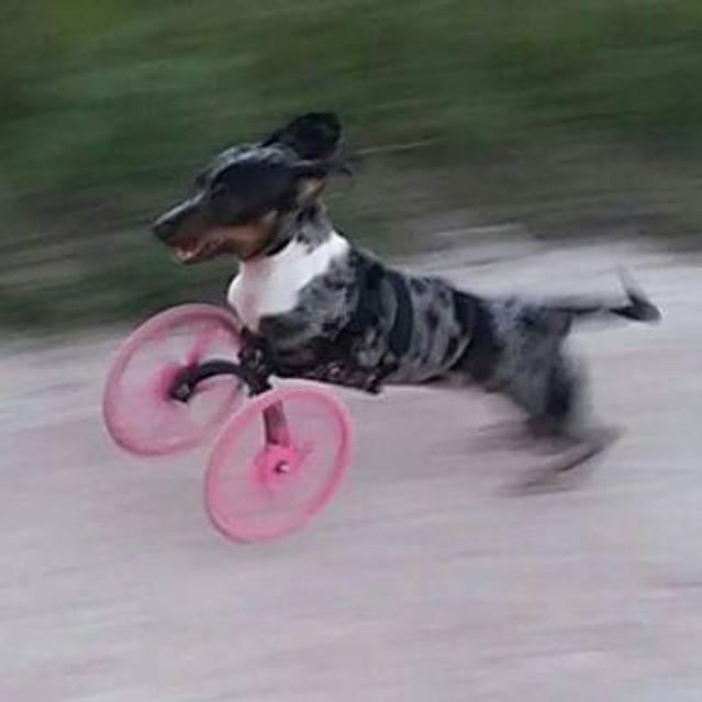 這隻狗狗一出生就沒有前腳,但看看主人的愛怎麼讓她照常活躍狂奔!