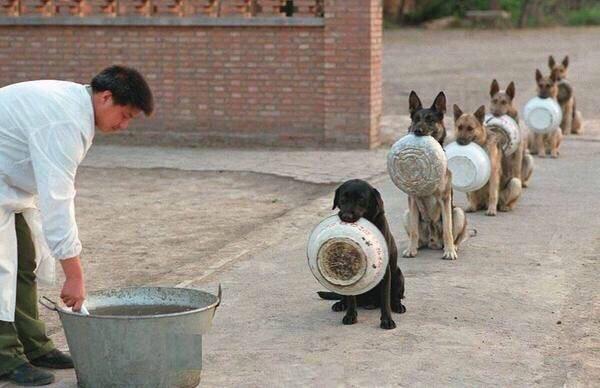 放飯啦!警犬「自己拿碗」乖乖排隊 路線超直根本在當兵