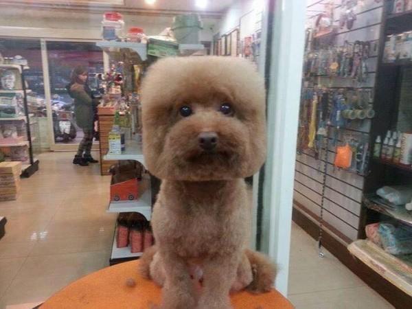 幾何狗狗髮型紅遍全世界,但你們都還沒有看過做誇張的「完美方塊造型」。他的側面更爆笑!