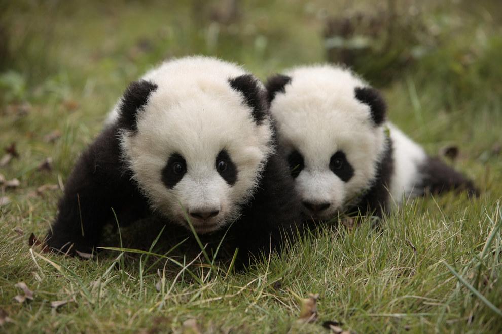 這兩隻超珍貴的雙胞胎動物終於誕生了!但卻很少人能馬上看出是什麼動物...