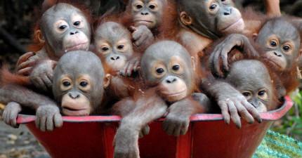 好在這些紅毛猩猩寶寶超懶一定要人推,才能讓我們看到這麼爆萌的一幕!