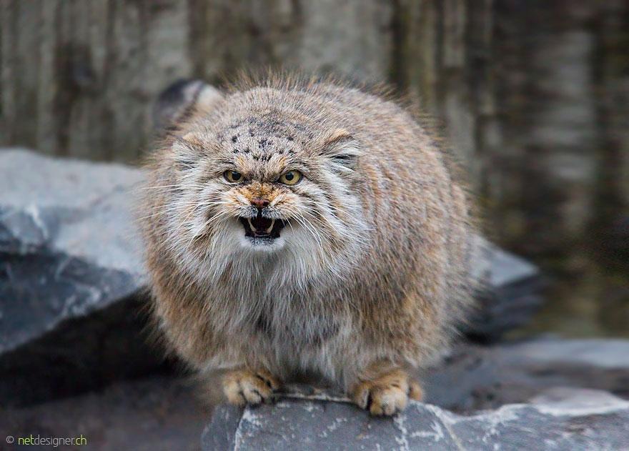 神獸系「貓界鰲拜」!萌兔猻戲超多 表情包做10組沒問題