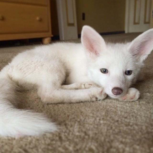 這隻爆紅的超可愛白狐狸長大了!而她的主人想要向全世界傳達一件最重要的訊息!