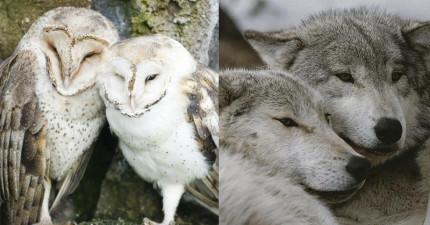 15種也是「一夫一妻相愛一輩子」的忠誠甘心動物。