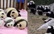 這世界上居然有一個「熊貓安親班」他們軟趴趴躺著的超可愛模樣,我天天看都不會膩!