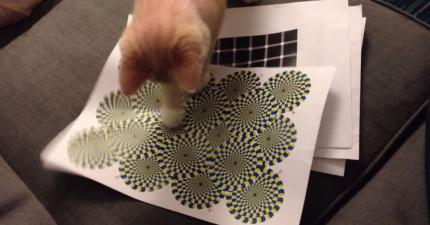 他把「錯視圖」印出給他家貓咪,貓咪被騙慘狂打貓拳的可愛模樣太犯規啦!
