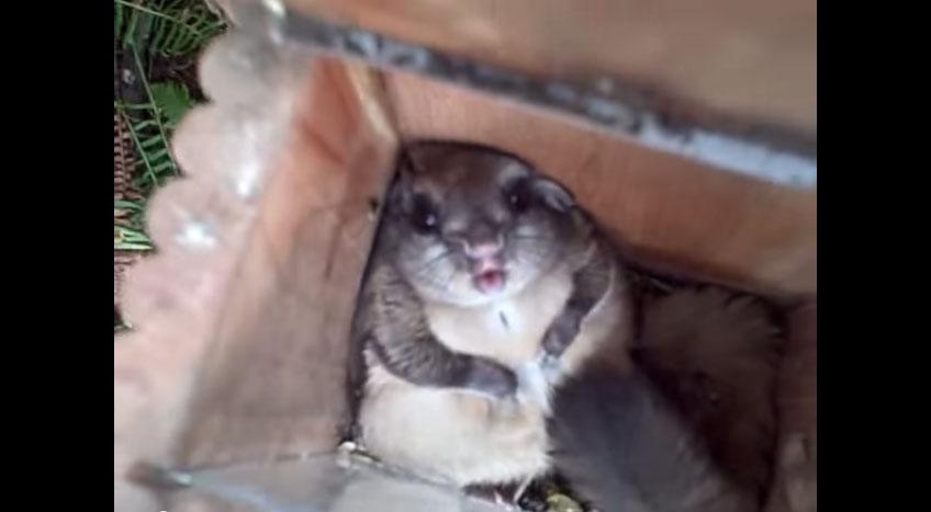 這隻胖到誇張抱歉的胖松鼠並不是懷孕,而是做了件超糗的事情...