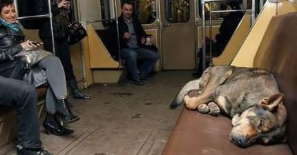 有些民眾發現到俄羅斯的流浪狗已經進化到懂得自己搭地鐵通勤,甚至還超有規矩尊重乘客?!