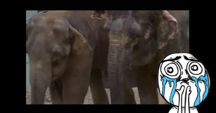 這對馬戲團大象姊妹被分離了22年,見面時的瞬間連結喜悅讓人類都能馬上體會!