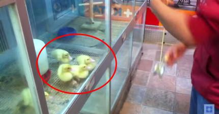 當這個人在小雞面前玩溜溜球越玩越快時,他們簡直全都快要瘋掉了!