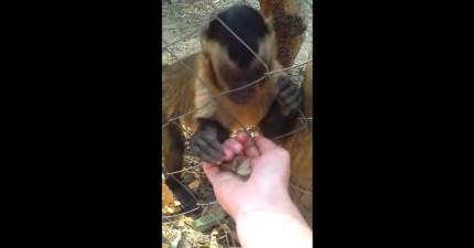 這支小猴子有耐性的教人類如何把樹葉給壓碎的影片第一次讓我了解猴子到底有多聰明!