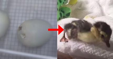 看看這隻小鴨鴨在73秒內長大,不過你的心在39秒就會被融化掉了!
