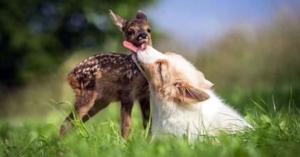 澳洲牧羊幼犬主動收養小鹿孤兒,彼此親暱的互動讓我懷疑他們上輩子本來就是姊弟!