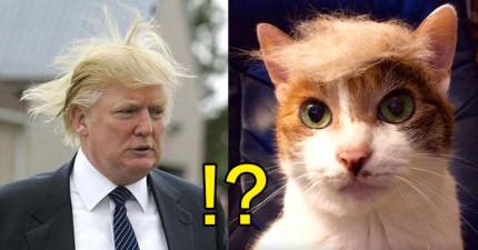 20隻貓咪為了模仿知名商業大亨,紛紛要求主人把自己弄成「飄逸川普頭」!