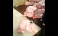 這個雞肉工廠裡偷拍到的恐怖畫面,可能就是你吃的雞肉有過的「加料過程」!