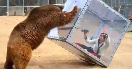 這個日本節目把女子關在箱內讓巨大灰熊攻擊,證明日本人已經把荒謬推到下個境界了。
