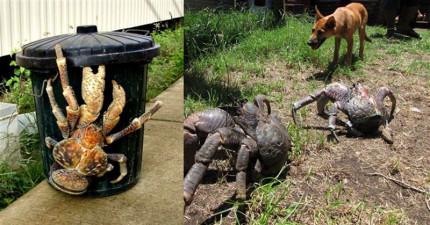 這種超巨型「寄居蟹」會讓你做惡夢,但先別怕...