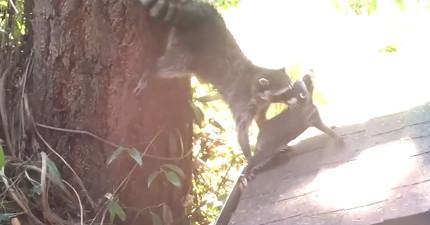 浣熊寶寶看起來很難為情,但媽媽還是繼續教爬樹的過程太可愛了!