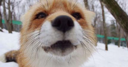 在你看過你能在這個日本最可愛的狐狸村裡做什麼後,你就會想要買張單程機票搬去那住!