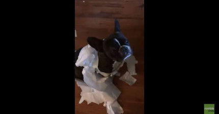 狗狗把廁紙咬得亂七八糟,當媽媽一問是誰幹的時,她的姊姊就完全出賣了她...