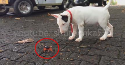 我很不喜歡看到動物打架,但這隻賤狗和小螃蟹的小爭鬥真的可愛到不行!