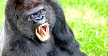 「朋友,你在拍三小?」不爽被拍,猩猩居然對攝影師怒比中指!