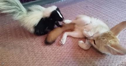 他們都沒想到這隻大耳狐和小臭鼬會變成最要好的朋友,而且互動簡直太可愛了!