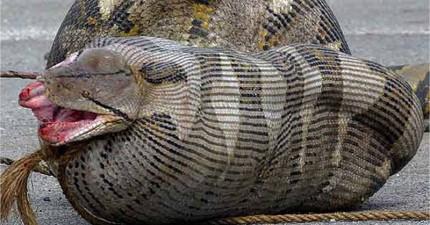 9隻貪吃蛇吞下了讓他們後悔莫及、甚至開腸破肚的驚悚東西。