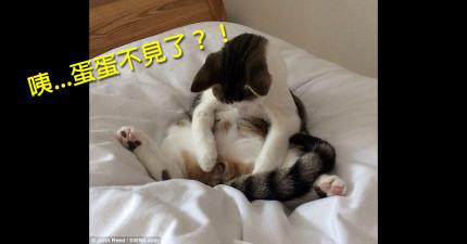 貓皇起床發現「蛋蛋不見了」 下一秒的激烈反應會讓你有點愧疚...