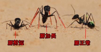 科學家懷疑螞蟻是用步伐來計算距離因此就把螞蟻的腿伸長看看會怎麼樣,實驗結果真的太驚人了!