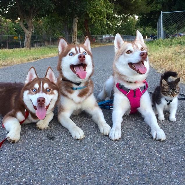 這隻哈士奇見到流浪小貓後就「母愛大爆炸」,小貓長大後居然走路跟狗狗完全一樣!
