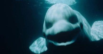 一名潛水員在水中以為聽到長官跟他下指令,結果竟然是一頭小白鯨在跟他講話?!