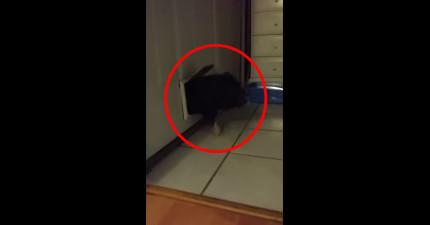 這隻小黑豬想要學自己的兄弟姊妹穿過寵物門,結果緊接著...爆笑悲劇!