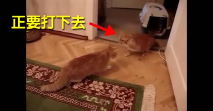 貓咪被另一隻貓咪呼巴掌後,表現出比8點檔還要戲劇化的反應。