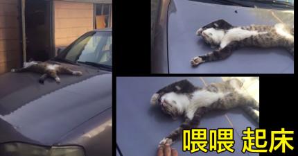 網友準備叫醒這隻「睡成大字型」的流浪貓,戳戳他後卻發現...流浪貓居然會賴床?!