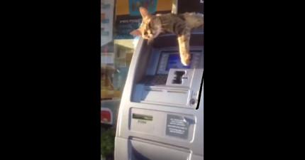 很多人想要用這個提款錢都不行,因為這隻貓咪不讓他們。