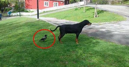 這隻有點賤的烏鴉悄悄的潛到狗狗後面,然後在00:49...