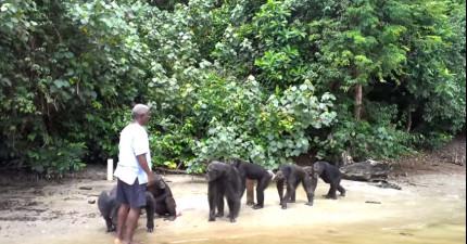 實驗室用完這些黑猩猩就把他們給遺棄,他們再次遇到看守人的反應真的讓人難忍淚水啊!