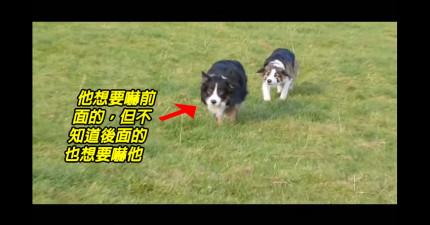 這隻牧羊犬正在悄悄的接近想要嚇最前面的牧羊犬,但不知道後面其實已經跟了另一隻...