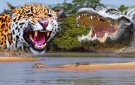 「美洲豹」準備和「鱷魚」決一死戰...沒想到勝負竟然一瞬間就分出來了!