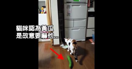 貓咪吃飯吃到一半,被後面突然出現的黃瓜給嚇得半死!