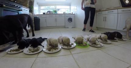 這10個小拉不拉多小寶寶吃晚餐的模樣可愛到可以把一個硬漢軟化成小嬰兒。