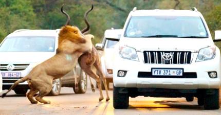 這些人開車看到羚羊跳到路中,接著兩隻猛獅撲上前時民眾全都看得目瞪口呆!