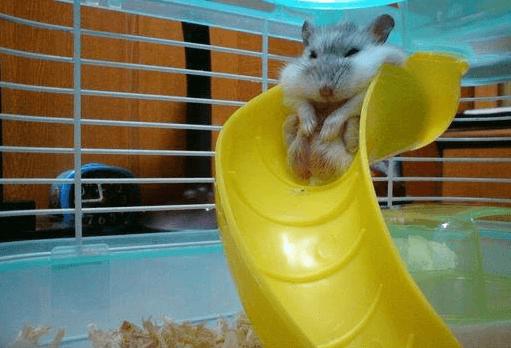 18張爆笑小倉鼠照 圓屁屁完全可以治癒連假後上班的心