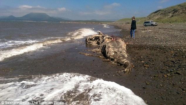 2.4公尺鳥嘴長毛的生物遺體被沖上海灘,科學家都認為是前所未見的新品種!