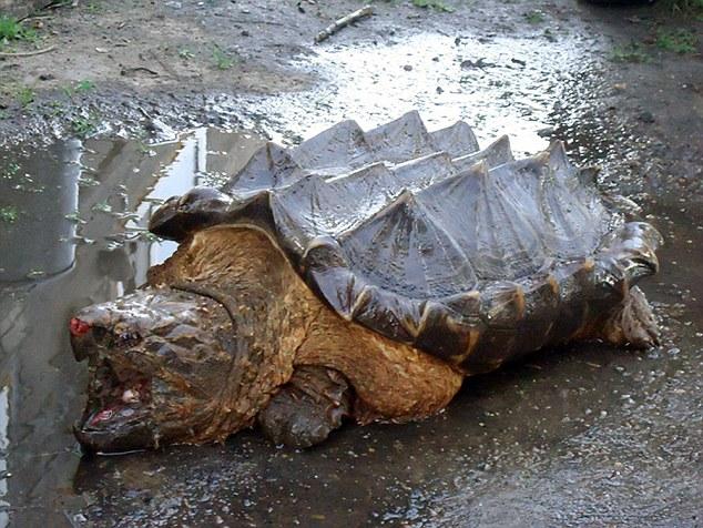 俄羅斯河邊竟發現了這隻淡水龜界之中的「恐龍」,把附近民眾都嚇壞了!