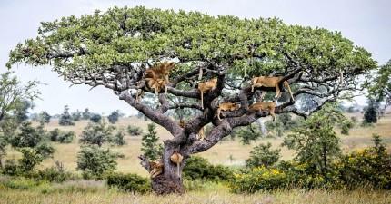 身為「萬獸之王」的獅群這下全都躲到樹上,原因會讓你打從心裡感同身受啊!